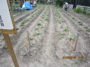 さつま芋の植え付け 植え付け後16日後 活着していた